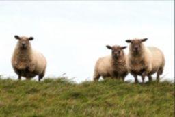 sheep-784561_1920.jpg